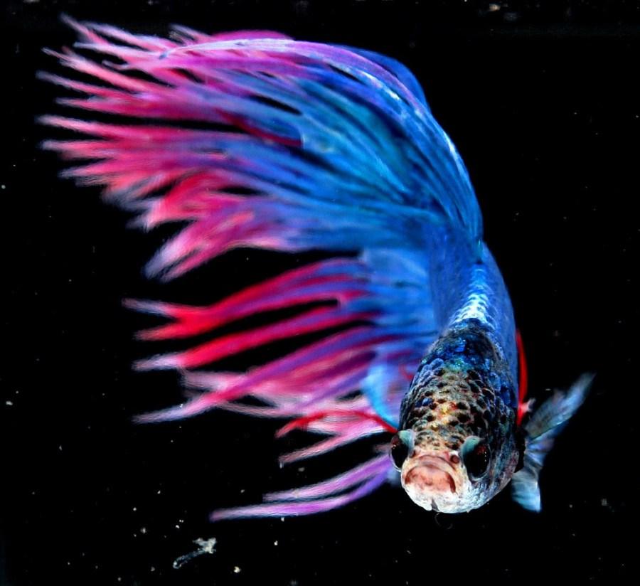 ikan-cupang-crowntail2-filckrcom