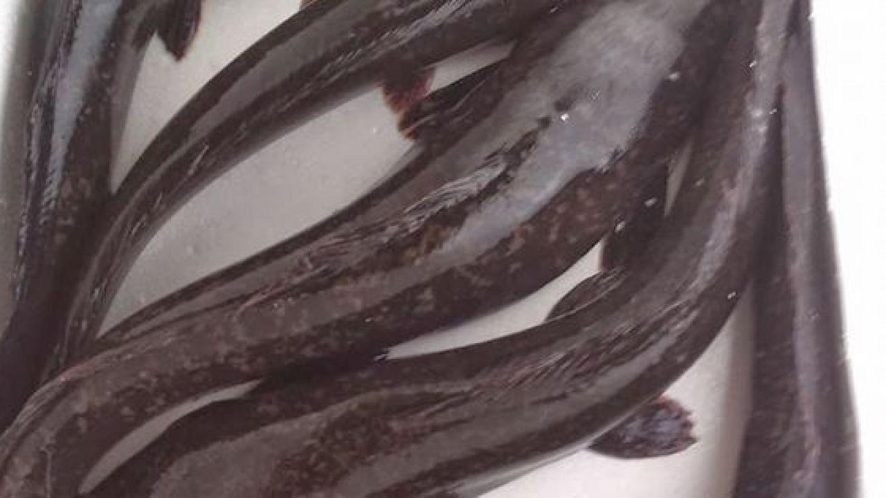 Panduan budidaya ikan lele sangkuriang di kolam terpal bagi pemula