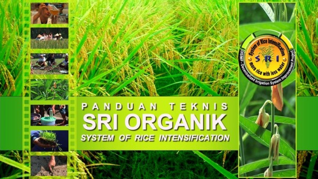 Mengenal Metode Padi SRI ( SYSTEM OF RICE INTENSIFICATION )