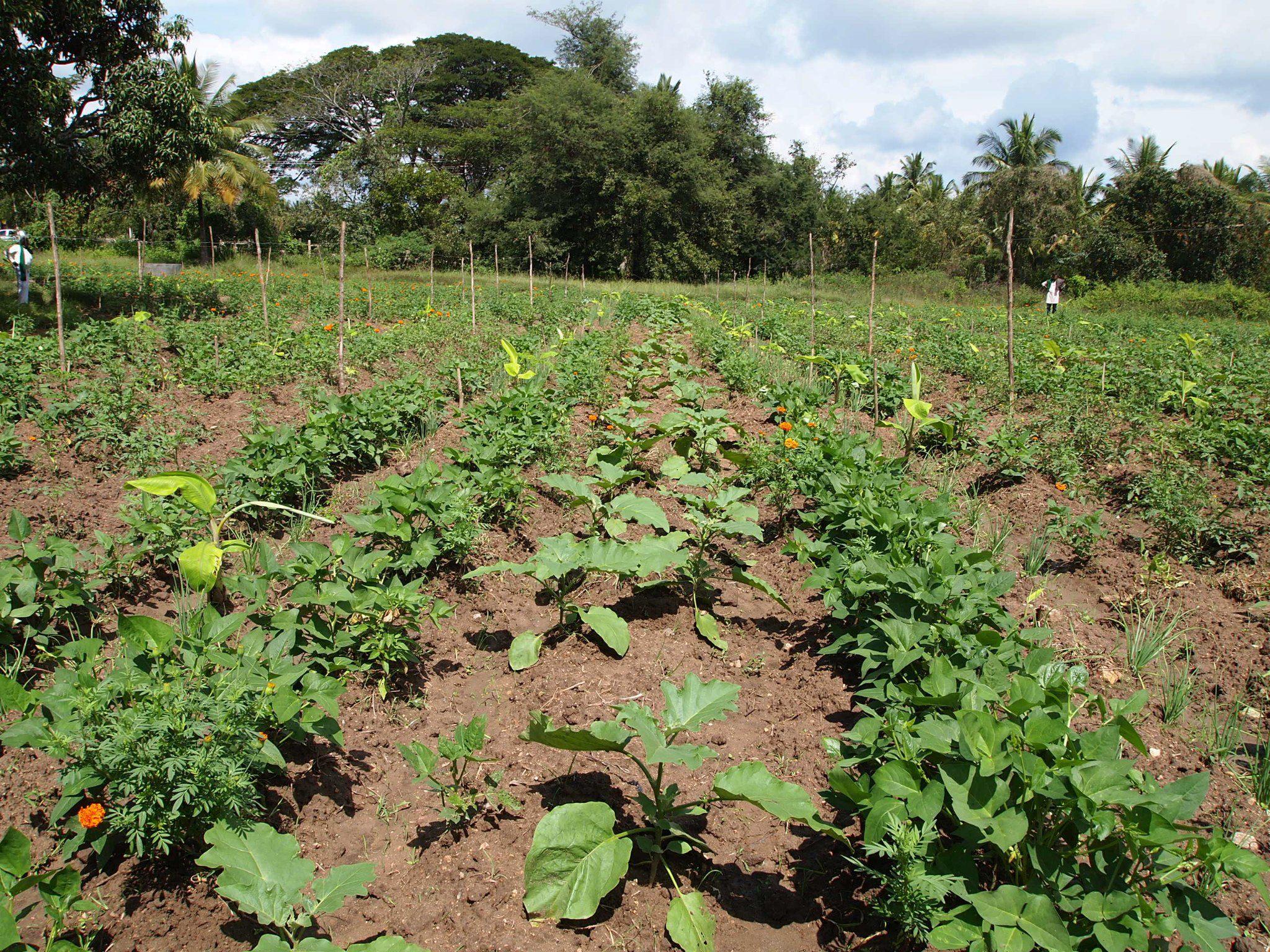 Pengertian tumpang gilir pada tanaman pertanian