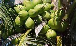 coconut-tree-1