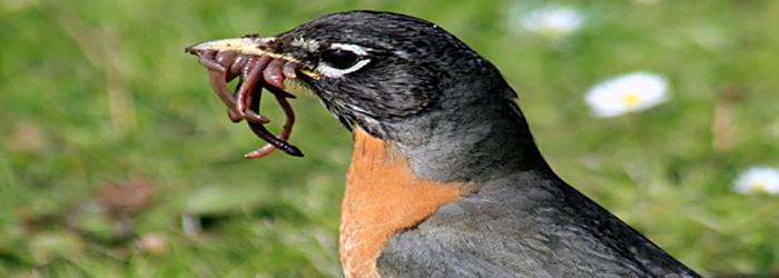 burung-makan-cacing