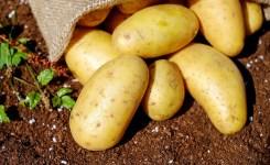Tips Memilih umbi untuk bibit kentang