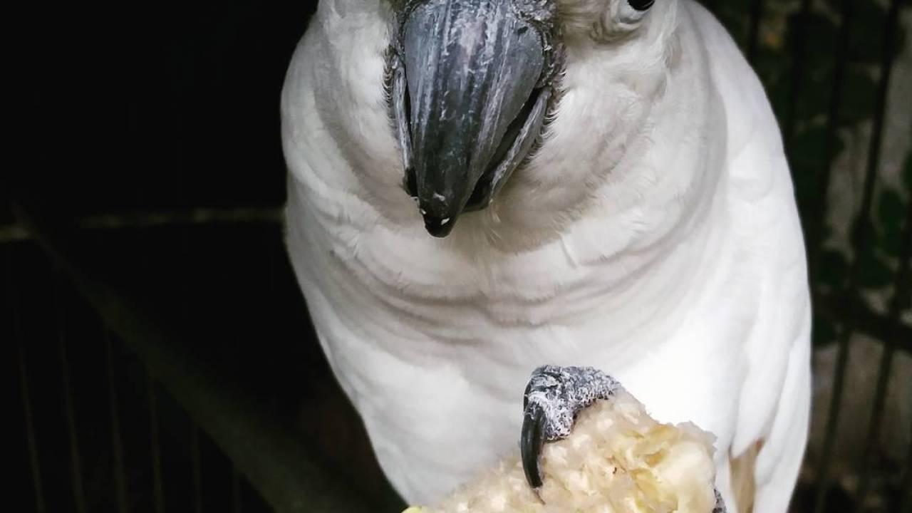 Cara cepat menjinakan burung kakatua
