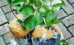 strawberry agrotani 2-min