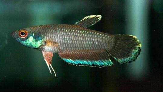 Ciri dan perilaku ikan mouth brooder