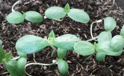Cara-Menyemai-Biji-Melon