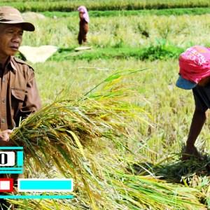3 Cara terbaik meningkatkan hasil panen padi 100% terbukti