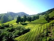 tea-plantation-261515_640