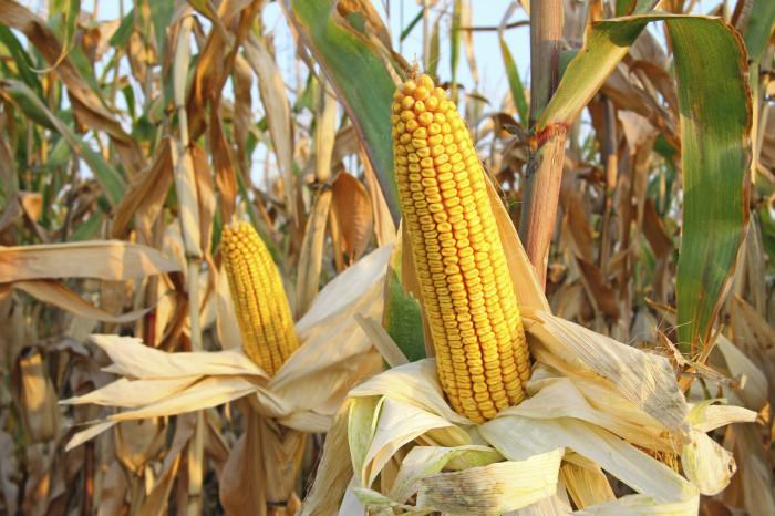 Hasil gambar untuk jagung hd
