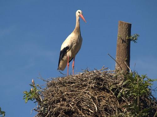 Resultado de imagen de cigueña en su nido