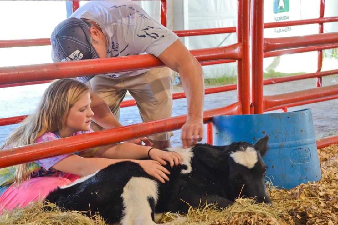 Visitors petting new calf