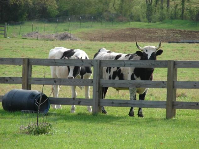 pee-pie cow