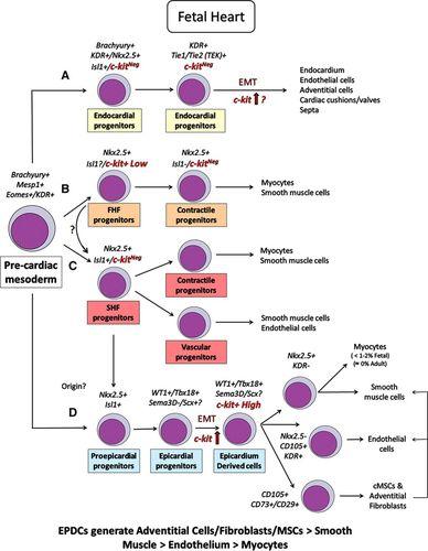 c kitpos cardiac cells