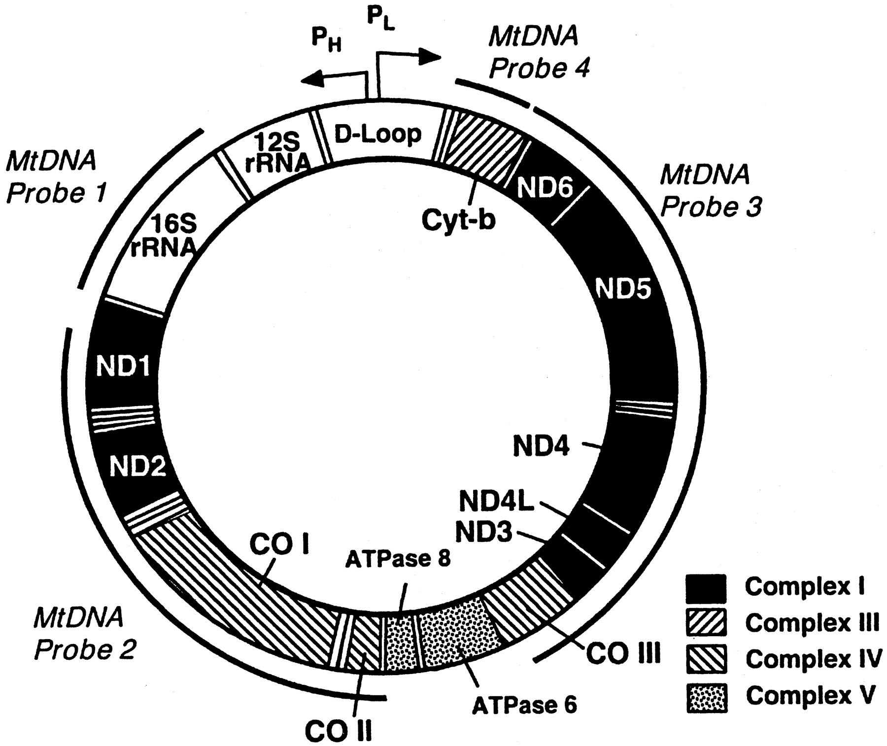 Mitochondrial Dna Damage And Dysfunction Associated With Oxidative Stress In Failing Hearts