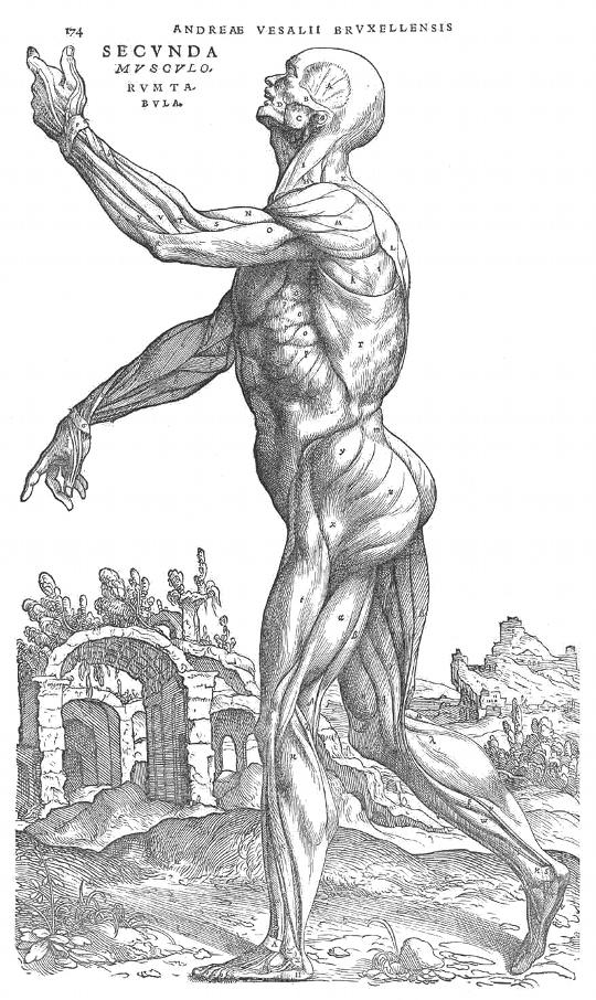 Anatomía del cuerpo humano, de perfil. Mússculos. Estudio de Andreas Vesalius S. XVI.