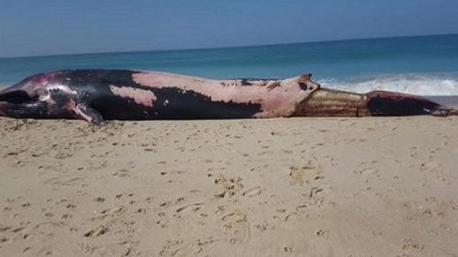 شاطئ بئر كندوز يلفظ حوت ضخم