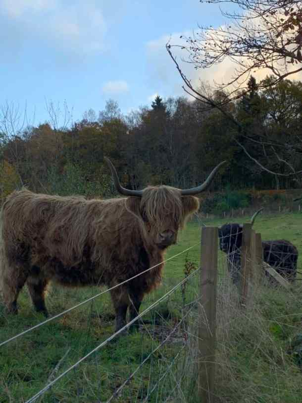 Perthshire - Highland Cow