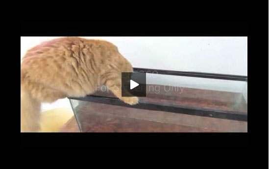 بالفيديو: قطة تحاول اصطياد سمكة فماذا حصل؟!!!