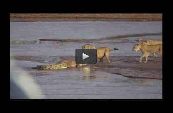 فيديو صراع دام بين تمساح وثلاثة أسود