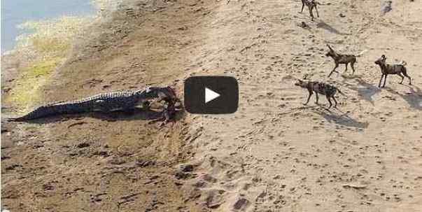فيديو تمساح يخطف فريسة من مجموعة ضباع بالقوة
