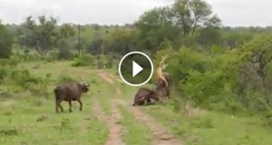 فيديو جاموس ينقذ صديقة من الأسود بشجاعة