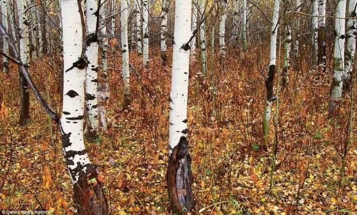 صورة ذئب مختفي بين اشجار الخريف