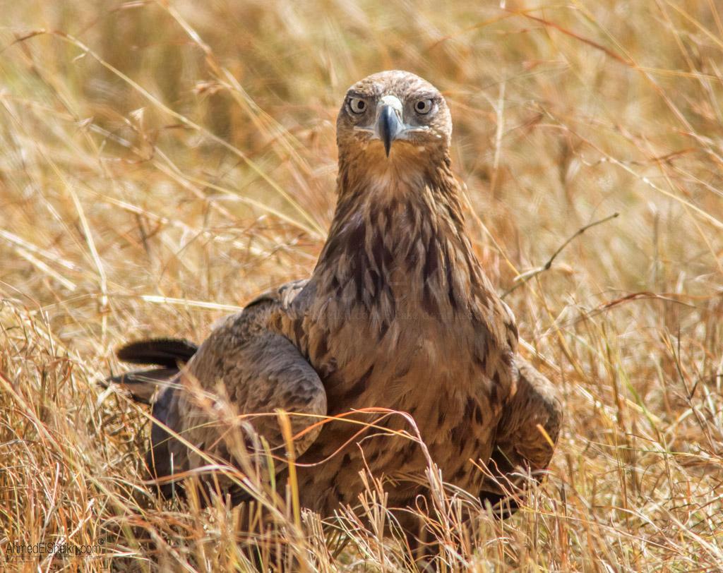Impiral Eagle -Masai Mara - العقاب الامبراطور