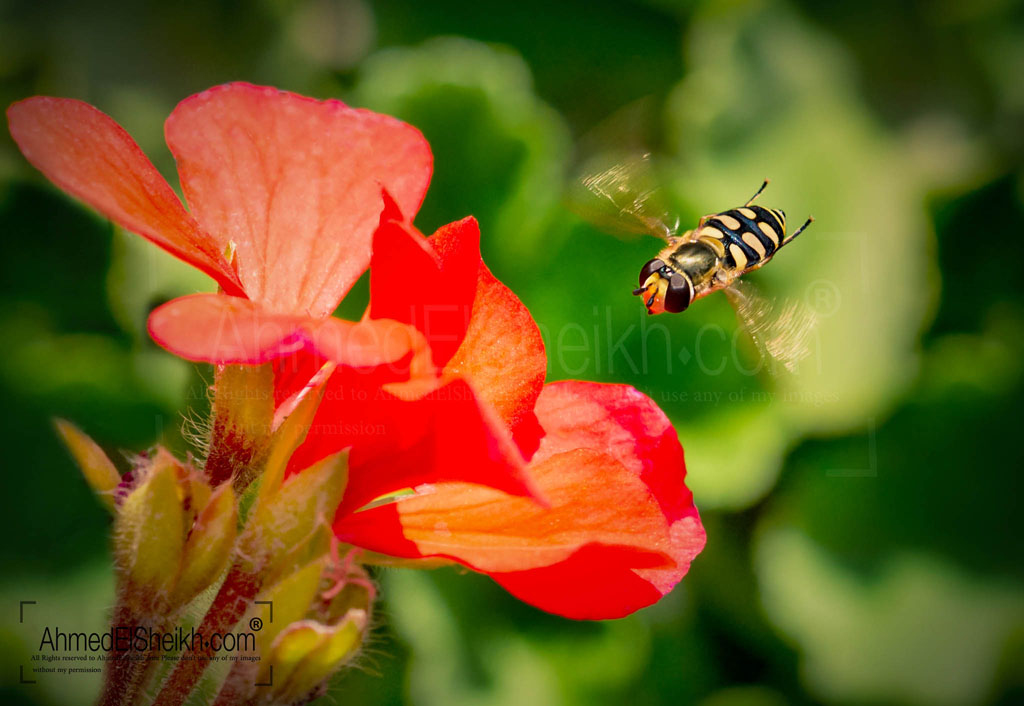Hover Fly in Action