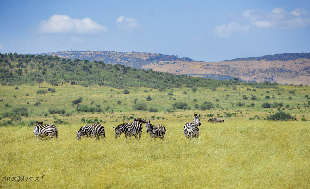 Group of Zebras in the wild
