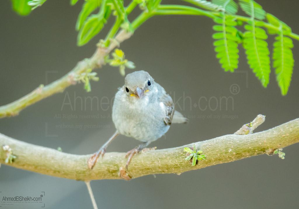 House Sparrow العصفور الدوري