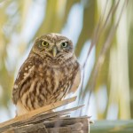 Little Owl بومة آم قويق -