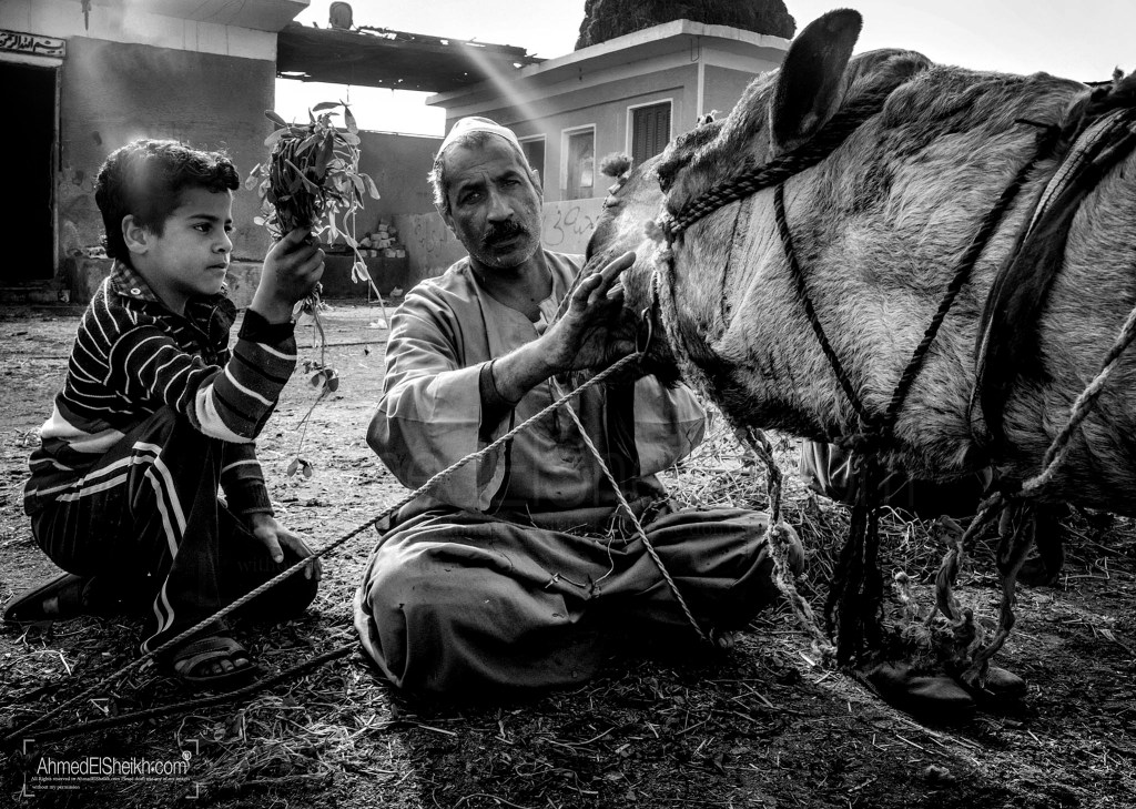 Father feeding the Camel while kid is helping