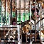 Uno de los tigres del circo Osvaldo Terry que permanecen en el zoo de Asunción.