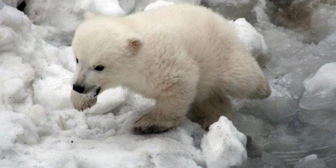 شبل الدب القطبي فى حديقة حيوان برلين