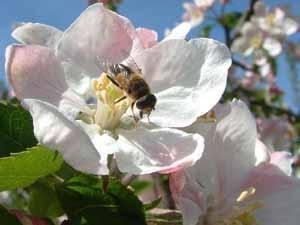 Zweefvlieg: Eristalis pertinax op appelbloesem (foto: Albert de Wilde).