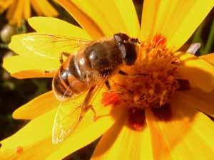 Blinde bij op Coreopsis lanceolata 'Sterntaler', Koudekerke, 15 aug. 2004 (foto: Albert de Wilde).