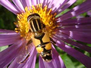 Helophilus trivittatus (mannetje) op Aster frikartii, 15 augustus 2004 (foto: Albert de Wilde).