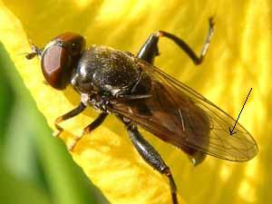 Tropidia scita (vrouwtje) op gele lis, Koudekerke, 2 juni 2005 (foto: Albert de Wilde).
