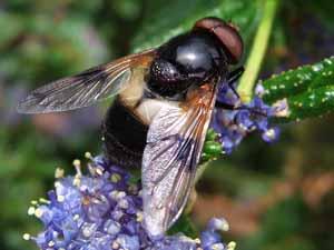 Ivoorzweefvlieg: Volucella pellucens (mannetje) op Amerikaanse sering, Koudekerke, 27 mei 2006 (foto: Albert de Wilde).