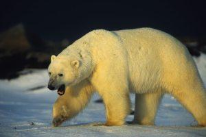 Orso.Polare