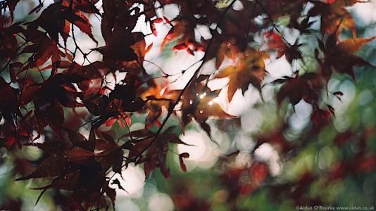Calderstones Park Japanese Garden leaves
