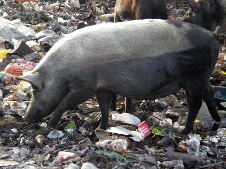 A Haitian Pig