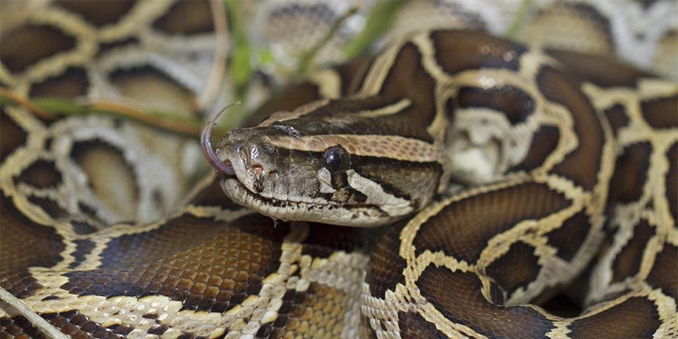 Python Invasion in Florida's Everglades