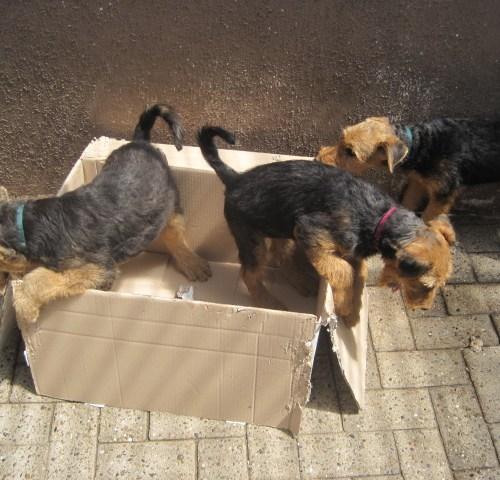 Herrchen hat ausgepackt, wir zerkleinern den Karton.