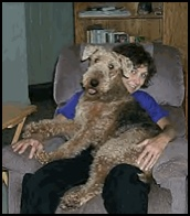 Big Airedale on a lap