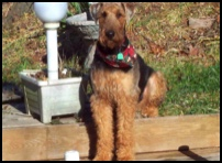 Airedale sitting on the steps outside