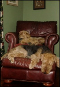 Airedales sleeping on a chair and ottoman