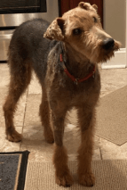 This is Billy the Airedale, a blind rescue from Louisiana.