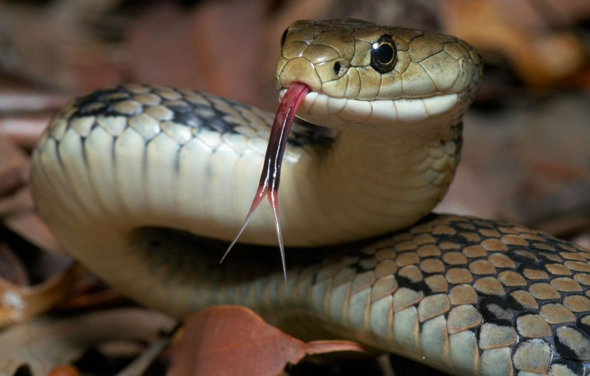 Act of Revenge – Man chews and spits out snake's head after it 'bit him'